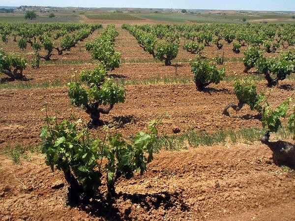 vinhedo-vinicola-pigus-espanha-ribera-del-duero-vinho