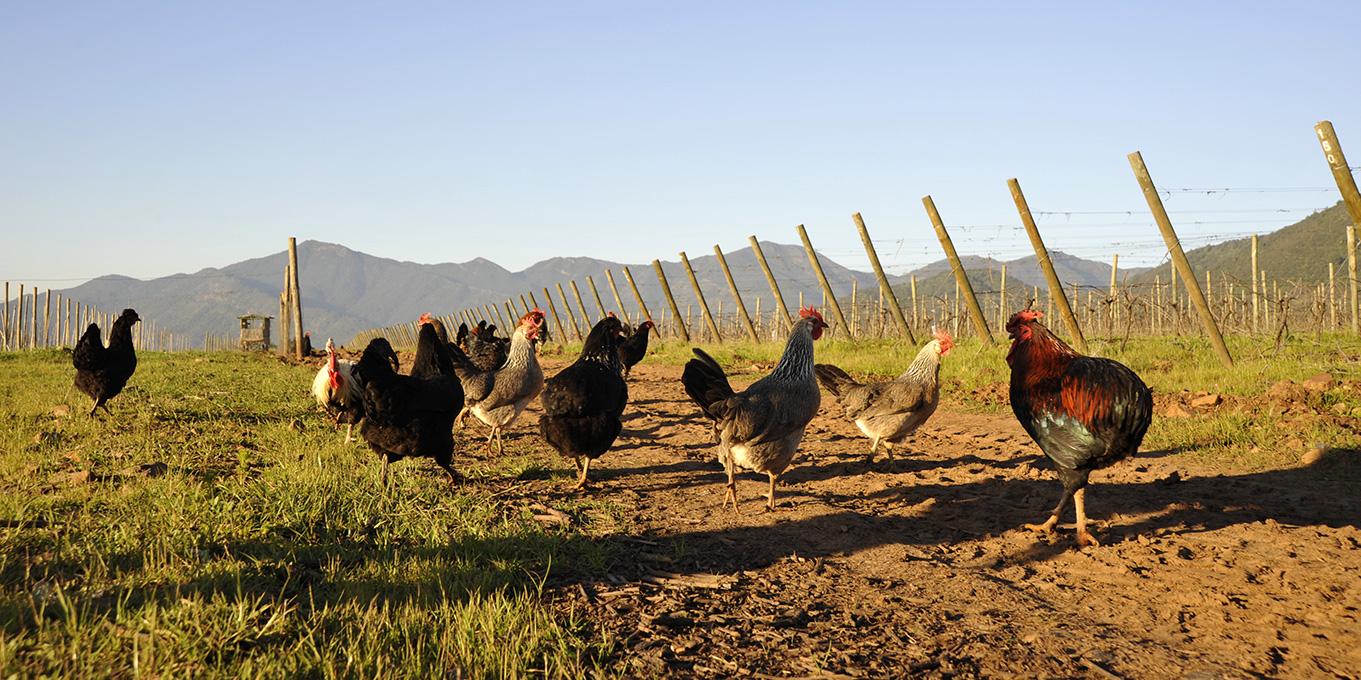 vinho-biodinamico-organico-chile-vinhedo-koyle
