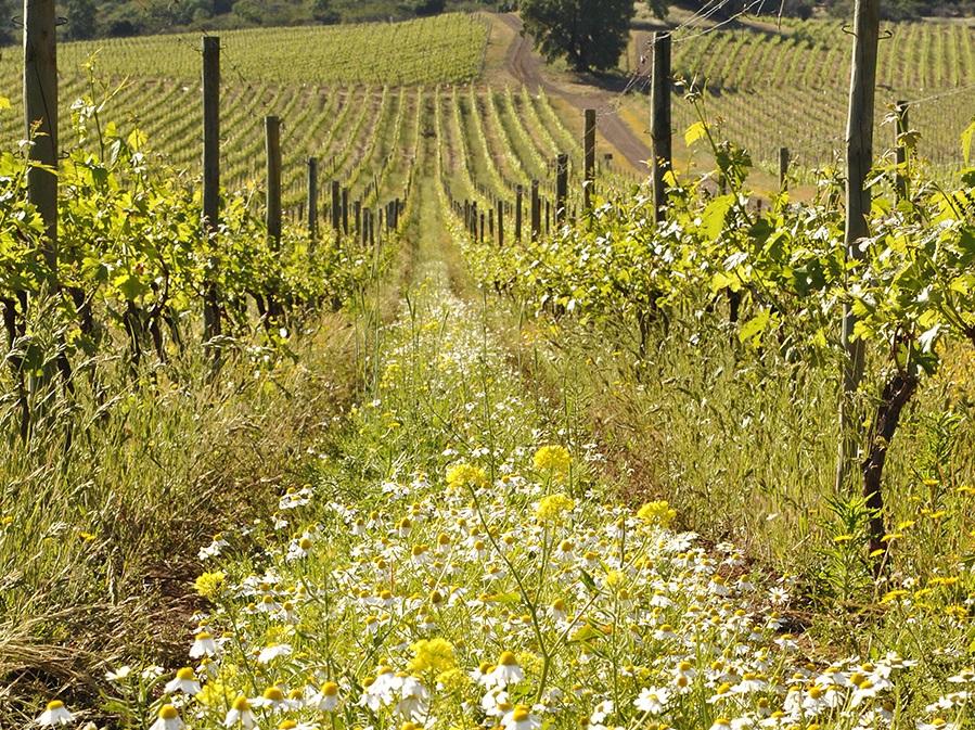 vinho-vinho-biodinamico-organico-chile-vinhedo-koyle
