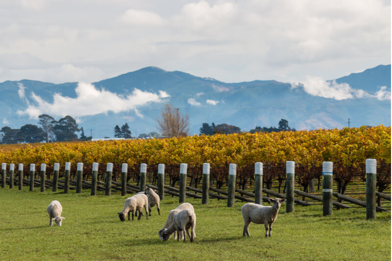 A região de Marlborough e seus vinhedos biodinâmicos.